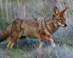 Safety Warning – Coyote Sightings