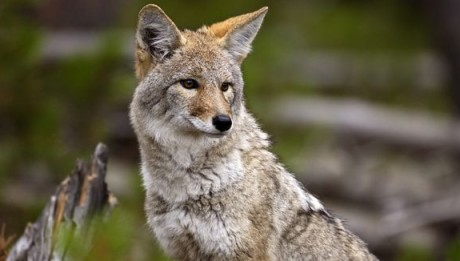 635864237403836854-XXX-YELLOWSTONE-COYOTE-MID-202594