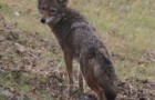Coyotes, Foxes, and Bobcats… Not quite Oz, but they are all here in Southwestern PA
